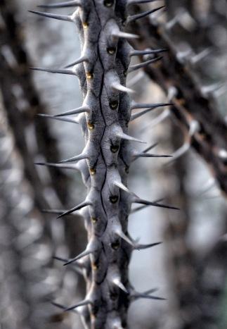 alluaudia-procera-spice-plant-branch-38282
